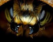 Пчелопакеты Карпатка, Карника. Привоз пчелопакетов на 2020 год