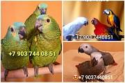 Попугаи- ручные птенцы из питомников Европы