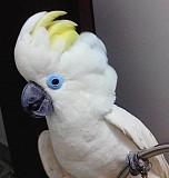 Синеочковый какаду (Cacatua ophthalmica) - ручные птенцы