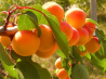 Саженцы плодовых деревьев и крупномеров по доступным ценам