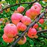 Саженцы и крупномеры плодовых деревьев